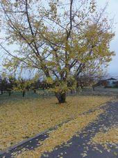 画像 109銀杏の木1