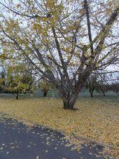 画像 110銀杏の木2