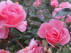 画像 113薔薇