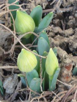 画像 136花の芽