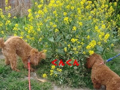 菜の花 002