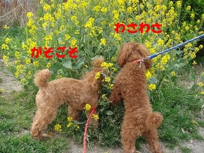 菜の花 004