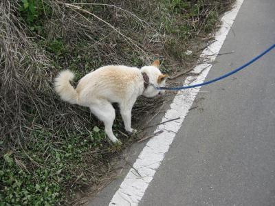 愛犬のチロ