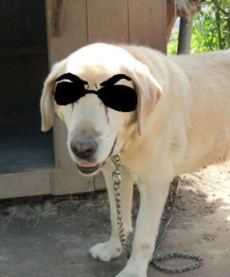 愛犬ジョーダン(ラブラドールレトリバー)