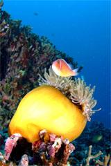 ハナビラクマノミ(座間味島)