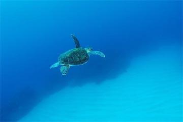 アオウミガメ(渡嘉敷島)