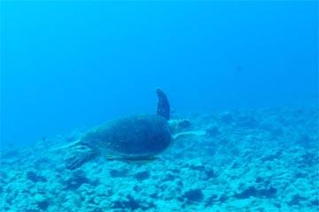 アカウミガメ(渡名喜島)