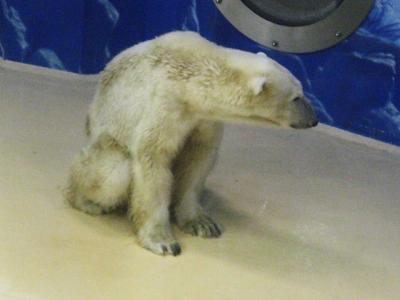 白熊のおとーさん(