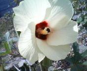 200909111057オクラの花