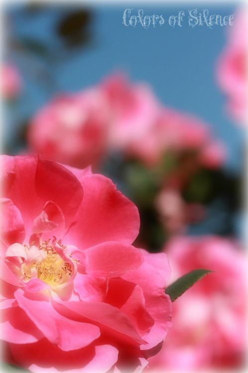 Non26-rose.jpg