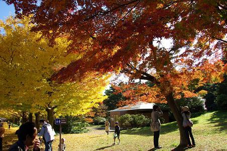 091115-22ichoumomiji.jpg