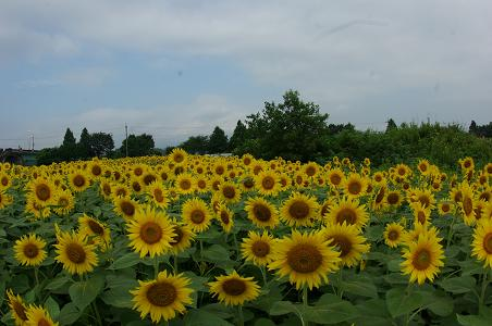 090813-01sun flower
