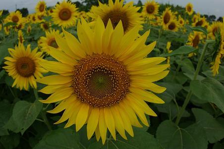090813-03sun flower1
