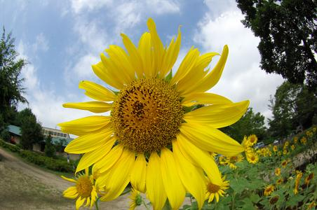 090813-06sun flower in yatoyama