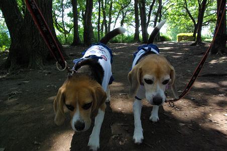 090816-04characooky walk in sagamihara park