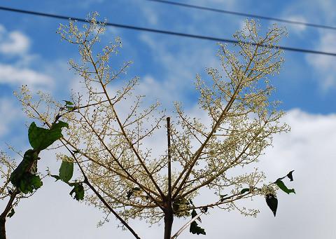 タラノキの花が大きい2