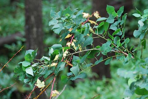 カツラの幼木が1