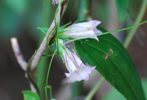 ツルリンドウの花が
