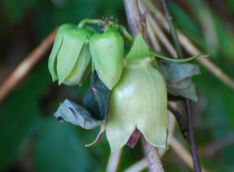 バアソブの花が