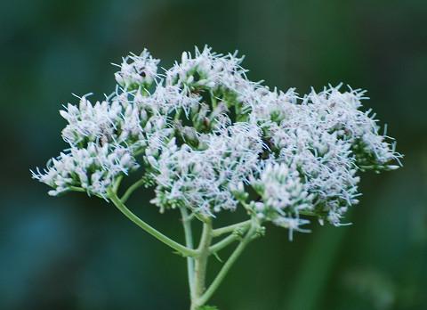 フジバカマの花が