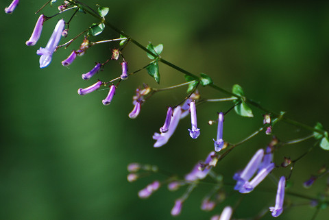 アキチョウジの花が2