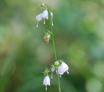 ツリガネニンジンの花は