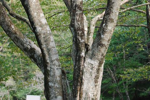 アカシデの幹が美しい