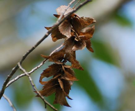 アカシデの花は