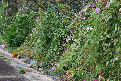 アサガオの垣根