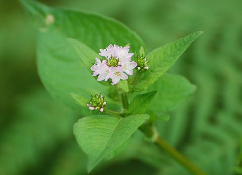 ミゾソバの花がきれい