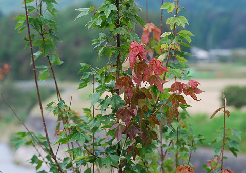 フウの紅葉