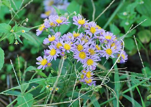 ノコンギク紫色