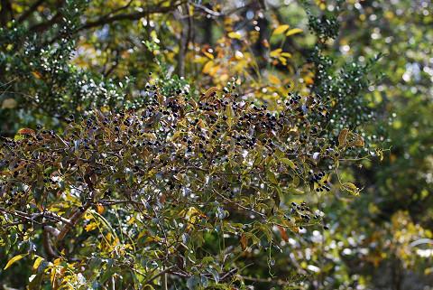 クロミノニシゴリの黒い実1
