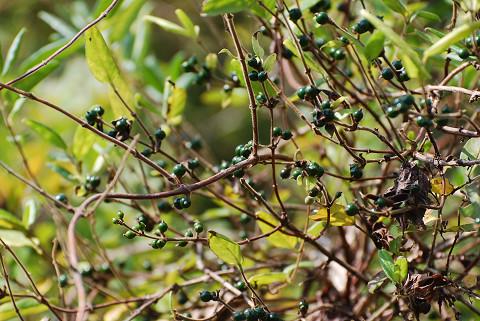 イボタノキの緑の実1