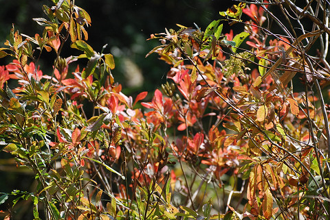 レンゲツツジの紅葉が始まった
