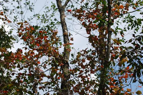 ツタウルシの紅葉がきれい