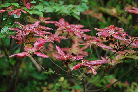 バイカツツジの紅葉が
