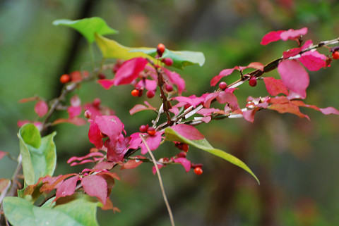 ニシキギの紅葉はきれい2