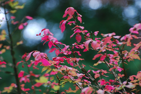 ニシキギの紅葉がきれい3