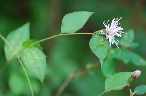 コウヤボウキの花がきれい