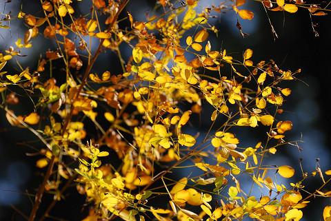 ヤマハギが黄葉を始めた