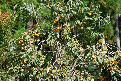 渋柿が色づいて