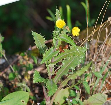 黄色い花???