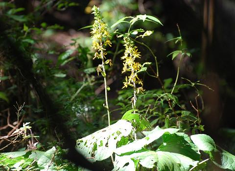 メテカラコウの花が