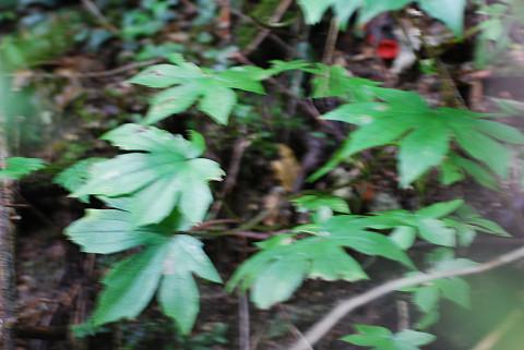 モミジガサの葉が