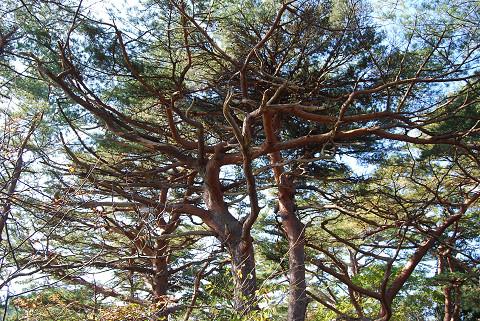 アカマツの見事な枝ぶり
