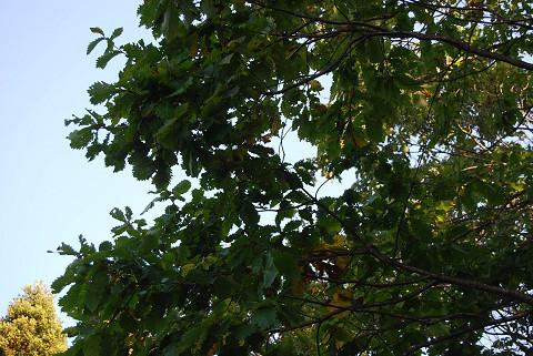 ミズナラの葉が