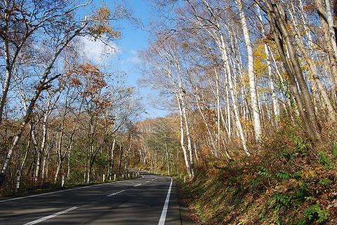 シラカバの原生林が続く