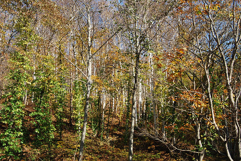 シラカバの原生林が続く2