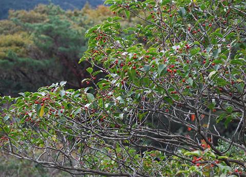 ソヨゴの赤い実が